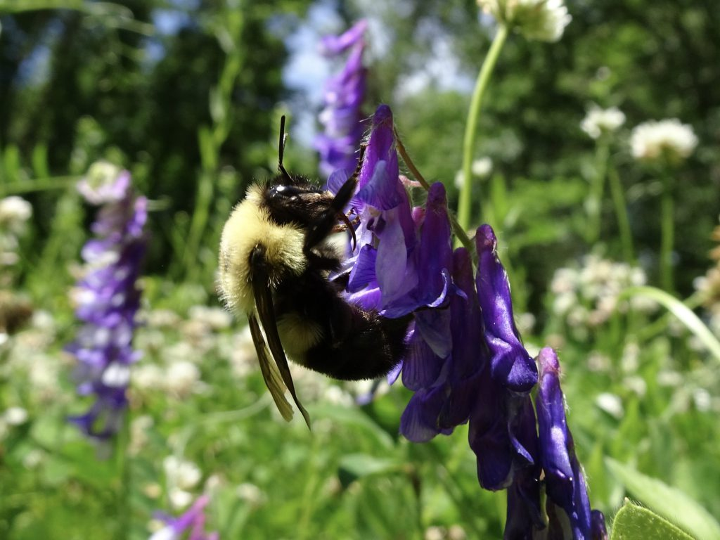 A two-spotted bumble bee (Bombus bimaculatus) on purple vetch flower.