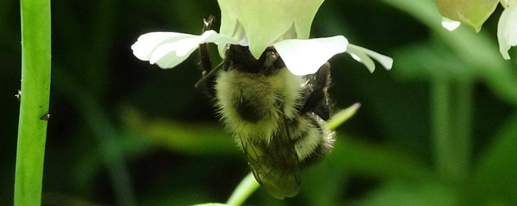 Female bombus griseocollis pollinating white campion
