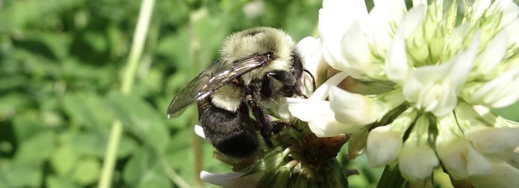 Female bombus impatiens pollinating white clover