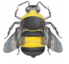 an illustration of bombus auricomus with three small eyes lower on the face and yellow on rear sides of thorax as well as top of head.