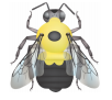"illustration of the two-spotted bumble bee, Bombus bimaculatus. Face black and top of head yellow. Thorax yellow with a black spot. Abdominal T1 yellow, T2 usually yellow with a yellow ""W"" in the middle surrounded by black, T3 to T6 black."