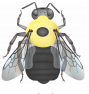 illustration of the lemon cuckoo bumble bee, Bombus citrinus. Face intermixed or mostly black and vertex yellow. Thorax mostly yellow with a black spot occasionally. Abdomen shiny, color patterns varied with abdominal T1 and T2 black or intermixed and T4 to T6 black.