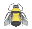 illustration of the Southern Plains bumble bee, Bombus fraternus. Thorax yellow with black band between the dark wings. Abdominal T1 and T2 yellow, and T3 to T6 black.