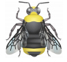 illustration of the indiscriminate cuckoo bumble bee Bombus insularis. Face black with a dense yellow patch above the base of the antenna and vertex yellow. Thorax yellow with large black patch occasionally extending to the wingpads. Abdominal segments T1 and T2 black, T3 to T5 mostly yellow on the sides and black in the middle, and T6 black. Some morphs have a yellow T4 segment and have intermixed fringes on T5.