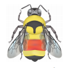 Face and top of head yellow or intermixed with black hairs. Thorax mostly yellow with a triangular shaped black band between the wingpads that points towards the abdomen. Abdominal T1 yellow, T2 and T3 orange, T4 yellow, T5 and T6 black.